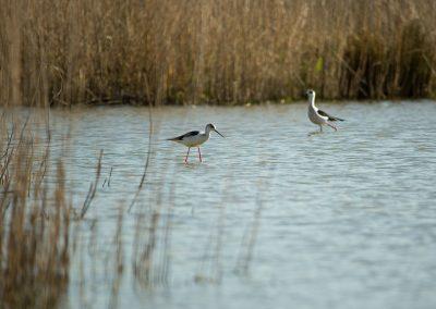 Echasse blanche Himantopus himantopus - Parc ornithologique du Marquenterre (80)