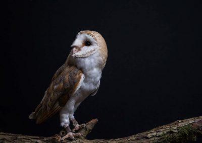 Effraie des clochers - Tyto Alba