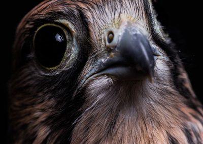 Faucon Crecerelle - Falco tinnunculus