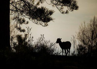 Mouflon de Corse Ovis aries musimon - Dunes du Parc Ornithologique du Marquenterre - Saint Quentin en Tourmont - (8