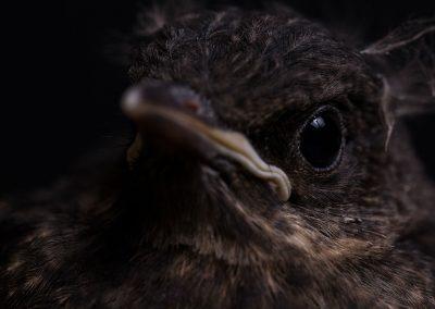Merle noir - Turdus merula