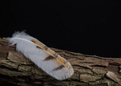 Plume d'Effraie des clochers - Tyto Alba